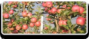 яблучки